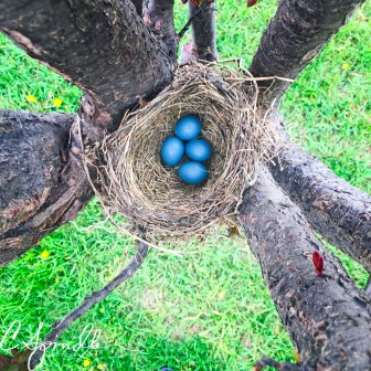 Robin eggs in a low nest in a plum tree
