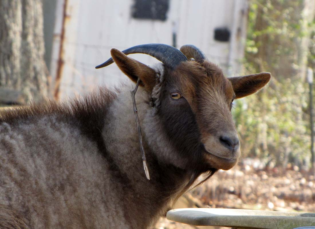 The Latest In Goat Jewelry Rural Ramblings
