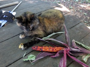 A dark calico cat, Butterscotch, sits next to a red ear of corn. This is an example of a poorly composed photo.