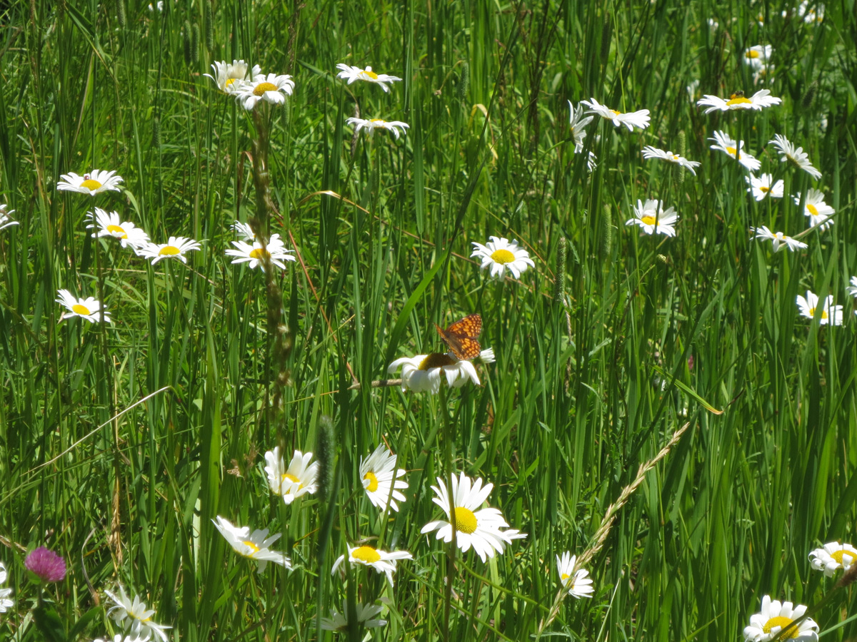 Meadow with natural grasses and flowers.