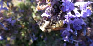 Apidea on catmint