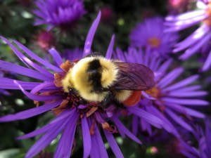 Bumblebee on purple aster