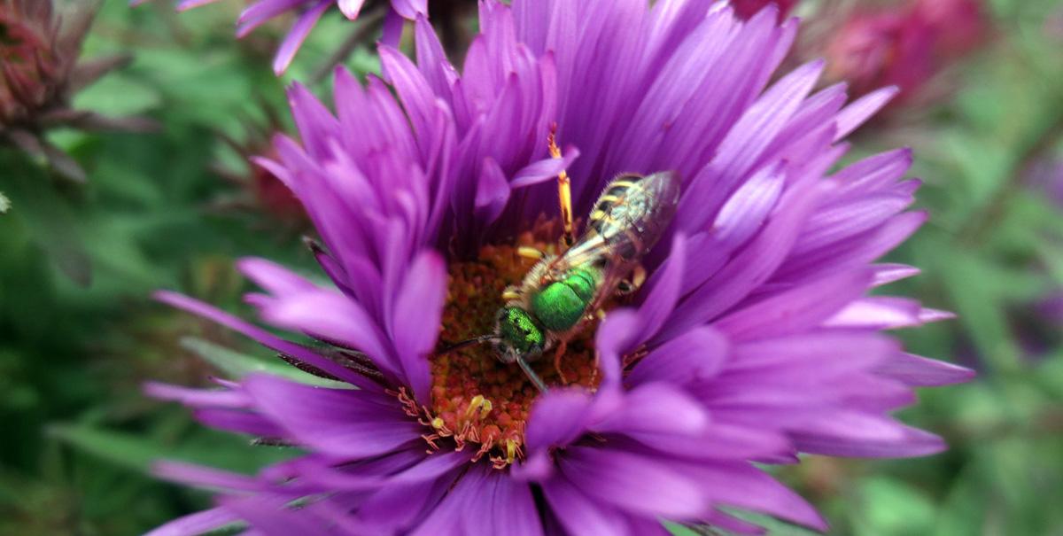 Halictidae bee on aster