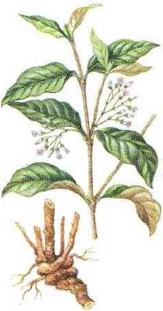 Ibogaine (12-Methoxyibogamine) is a naturally occurring psychoactive substance found in a number of plants, principally in a member of the Apocynaceae family known as iboga.