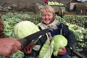Когда убирать капусту с грядки советы новичкам