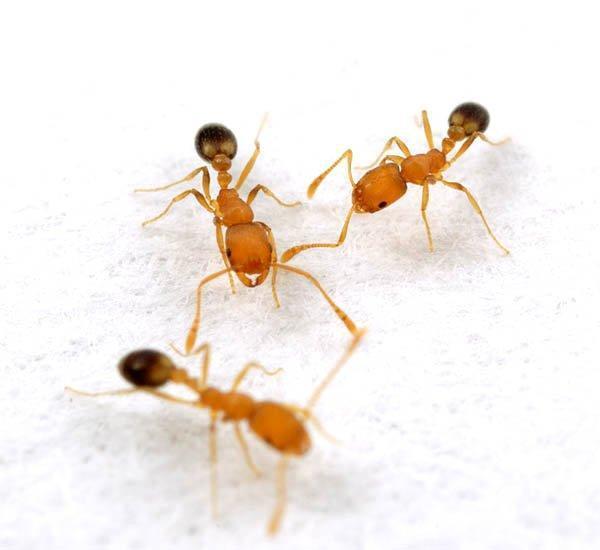 Bagaimana Cara Menyingkirkan Semut Kecil Di Apartemen Selamanya
