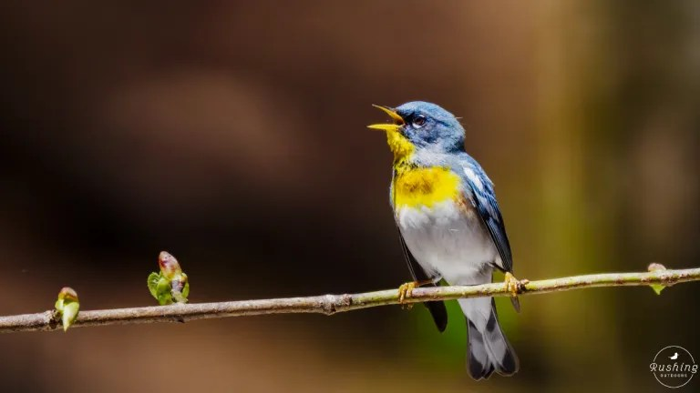 Singing Northern Parula in simple minimalist composition