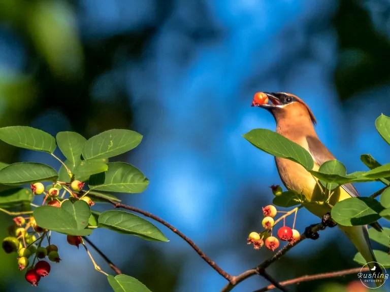 Cedar Waxwing Eating Serviceberry Against Blue Sky