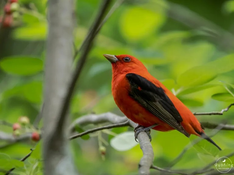 Brilliant red and black Scarlet Tanager