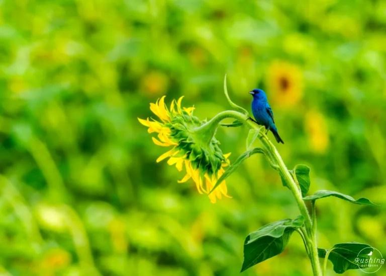 Indigo Bunting On Sunflower Bloom