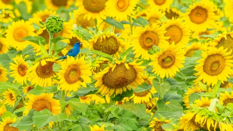 Indigo Bunting in Sunflower Field Striking Blue and Yellow Colors