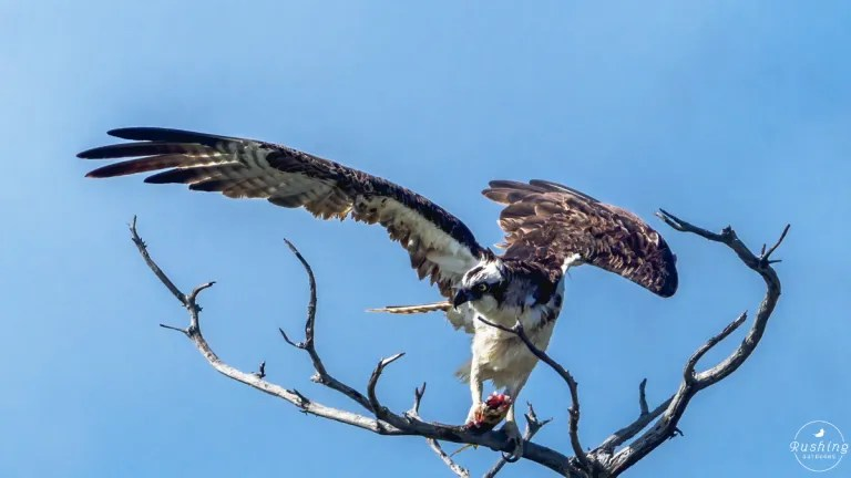Osprey & half eaten fish
