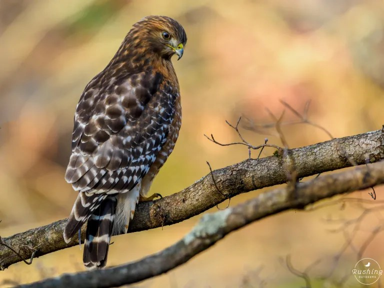 Red-shouldered Hawk in classic hawk pose