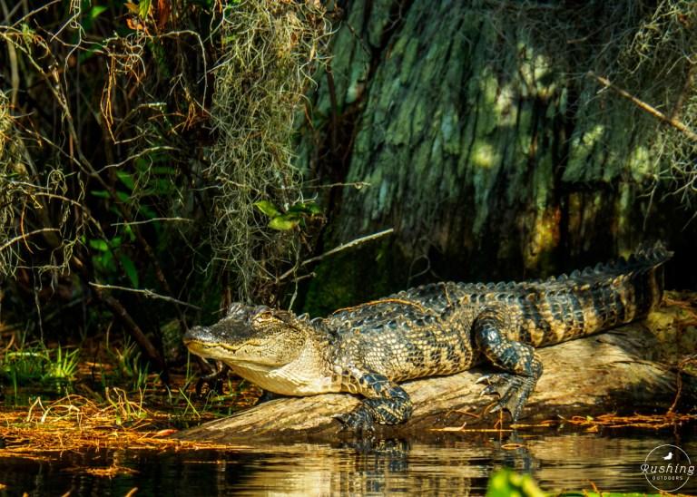 10'+ alligator in Okefenokee NWR