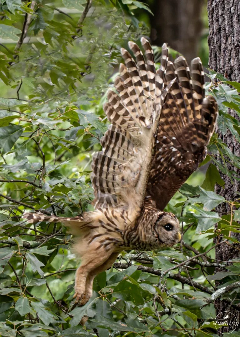 Barred Owl Taking Off With Wings Stretched Straight Up