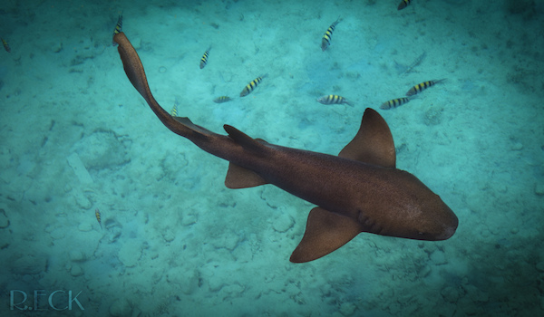 These 4 sharks are likely to be encountered by scuba divers