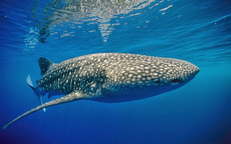 8e426c876aed1 Is it legit to scuba dive with the Whale Sharks in Isla Mujeres ...