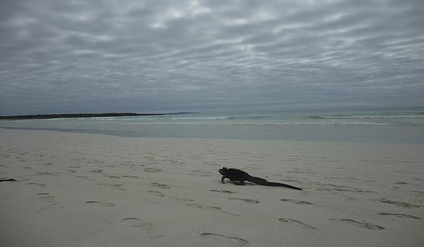 Iguana_on_the_beach_at_tortuga_bay_galapagos=