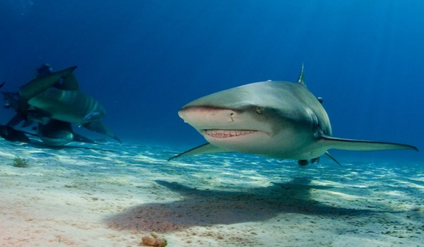 Dive_with_sharks