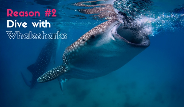Dive_with_whalesharks_in_belize