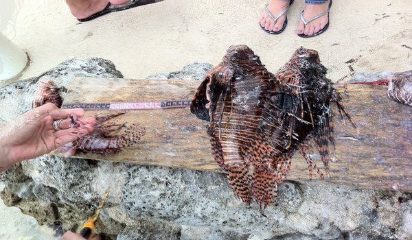 Marine_conservation_by_collecting_data_lionfish