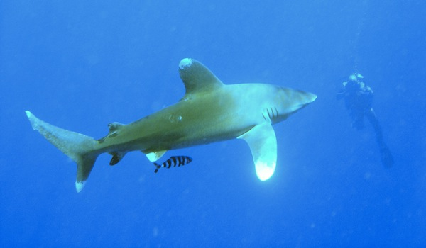 Oceanic_white_tip