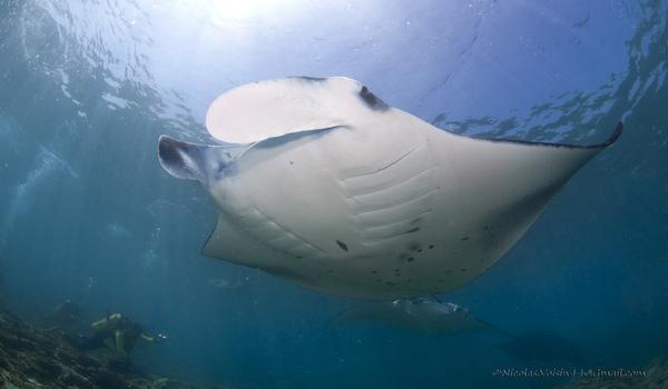 Scuba_dive_manta_ray_maldives