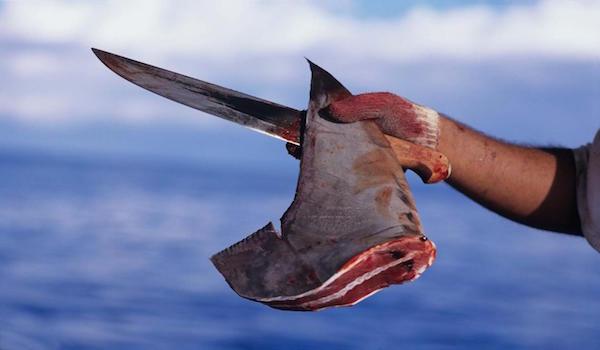Shark_finning_should_stop
