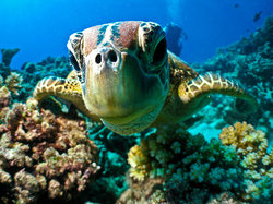 Turtle_on_reef