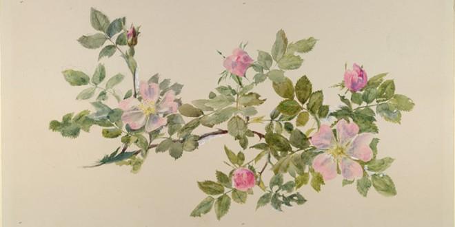 Ruskin, John. Study of Wild Rose