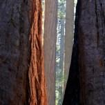 Warm evening light on cinnamon trunks