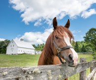 Dickens, a 9 year old Arabian Stallion, peers over the fence at the former Hooper Farm in Bryant Pond Tuesday morning. He is one of the last horses that remain on the farm after the longtime owners sold the property to the Hallett family, who plan to continue breeding horses on the iconic property..
