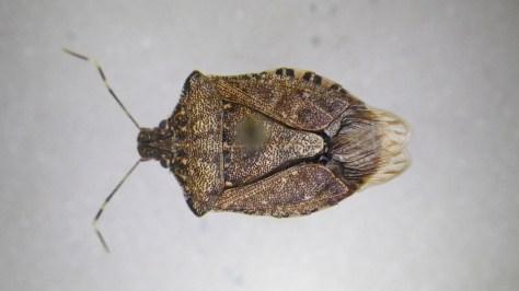 Brown Marmorated Stink Bug (Halyomorpha halys); Photo Credit PJ Liesch