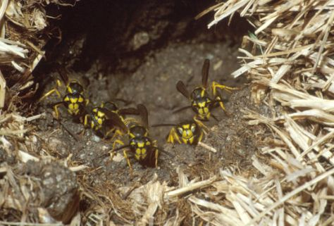Ground nesting Yellowjackets