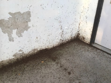 Millipedes on a home's foundation