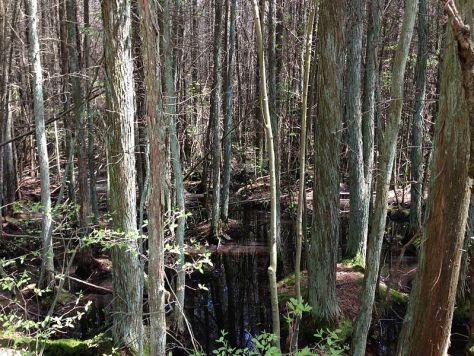 Cedar swamp in New Jersey.