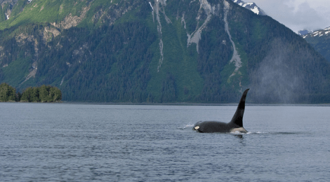 Uncle Fred and Little Fred - A Tale Of Two Orcas