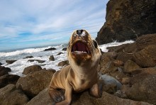 starving_sealions