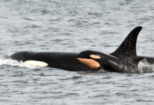 An adult Orca whale with a very young one