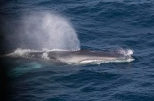 Fin whale3