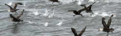 Seabirds Work To Sustain Ocean Plankton Blooms