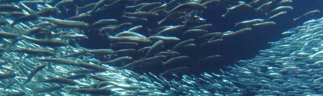 Pacific Forage Fish Decline As North Pacific Cools