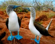 Iconic Blue Footed Booby