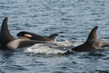 Baby Orca's are lovingly watched over by the whole extended family