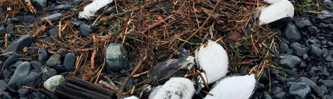 North Pacific Seabirds Deaths Beyond Counting, We Can Save Them
