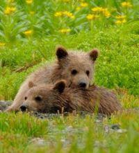 griz_cubs_tundra1
