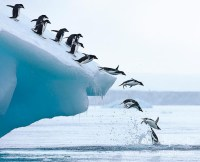 Adelie penguins leaping into the ocean from an iceberg.