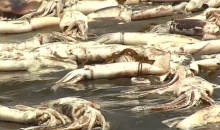 squid dead on beach