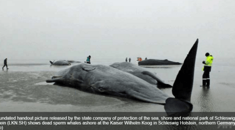sperm whales dead in germany