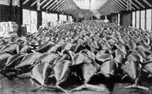 bluefin_tuna_historic_photo1